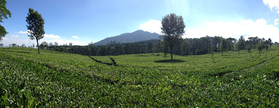 panoramic-tea-plantation-1555102_960_720
