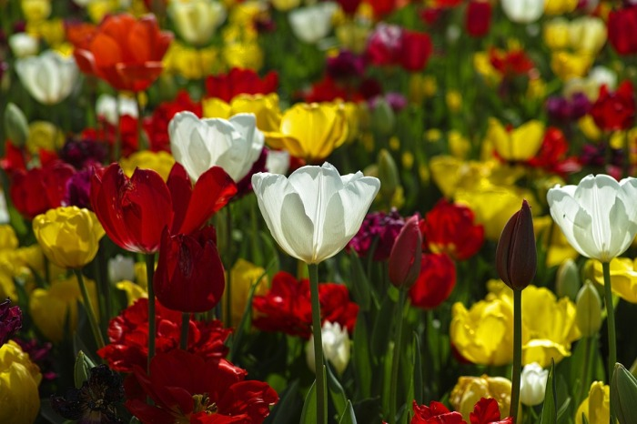 tulips-1511854_960_720